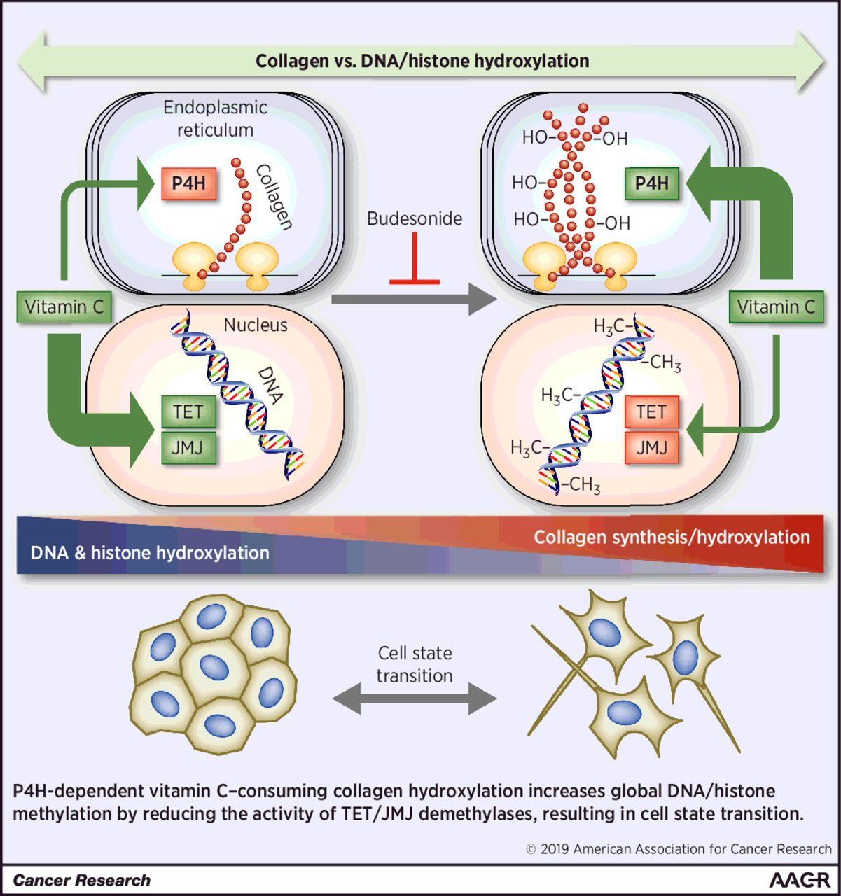 Collagen Prolyl Hydroxylation-Dependent Metabolic Perturbation Governs Epigenetic Remodeling and Mesenchymal Transition in Pluripotent and Cancer Cells